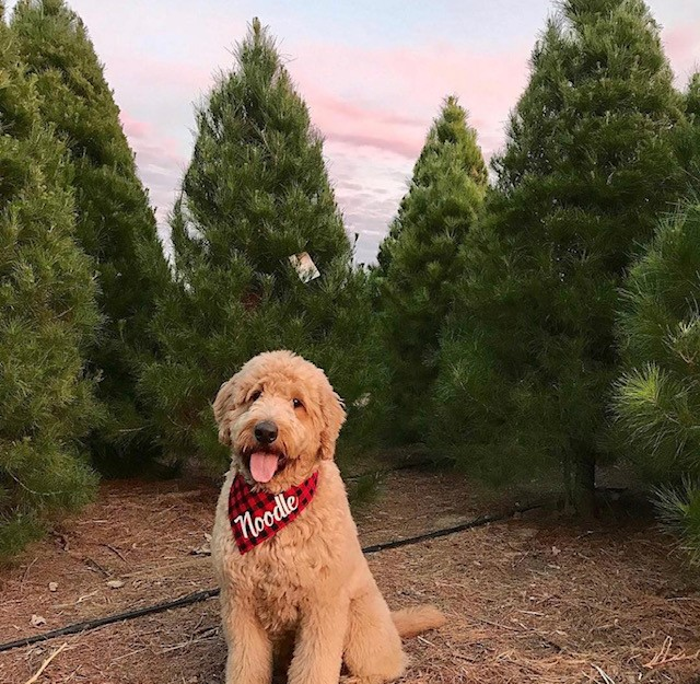 Golden Doodle named Noodle, after a long run around the trees. Photo Credit: @PeltzerPines on Instagram